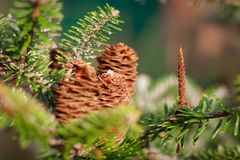 Iglastego drzewa jodła gałąź konusuje larix leptolepis fotografia royalty free