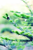 Iglasty, drzewo Obraz Stock