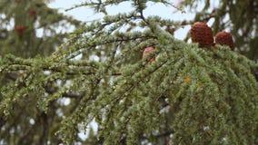 Iglasty drzewo z rożkami Krople deszcz zobaczą na igłach zbiory wideo