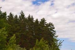 Iglasty las przeciw niebu obraz royalty free