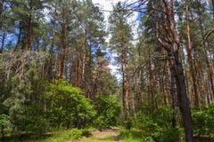 Iglasty las przeciw niebu fotografia royalty free