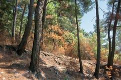 Iglasty las w Kaukaz, Krasnodar terytorium, Rosja Obraz Stock