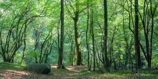 Iglasty las w Kaukaz, Krasnodar terytorium, Rosja Fotografia Stock