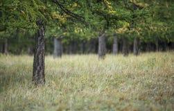 Iglasty las w północnym mongoli zdjęcia stock