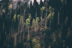 Iglasty Lasowego drzewa tło Fotografia Stock