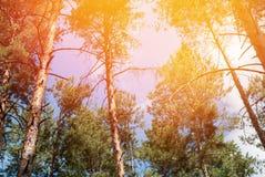 Iglasty Sosnowy las z słońce promieniami przez wierzchołka drzewa Obrazy Royalty Free