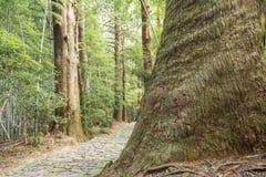 iglasty wielki drzewo fotografia royalty free