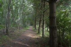 iglasty wschodniego Europe lasowej ścieżki Ukraine drewno Zdjęcia Stock