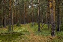 iglasty wschodniego Europe lasowej ścieżki Ukraine drewno Obraz Royalty Free