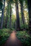 iglasty wschodniego Europe lasowej ścieżki Ukraine drewno Zdjęcie Royalty Free