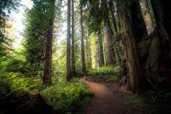 iglasty wschodniego Europe lasowej ścieżki Ukraine drewno Zdjęcia Royalty Free