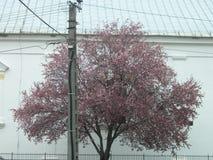 Igreja e árvore de ameixa selvagem de florescência imagens de stock royalty free