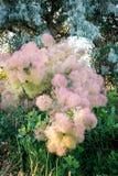 Igreja - o arbusto alto original ou a baixa árvore da família de sumac Fotos de Stock Royalty Free