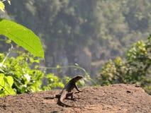 Iguaçu baja lagarto Imagen de archivo libre de regalías