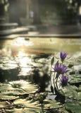 Igualación de Lotus púrpura Fotos de archivo libres de regalías