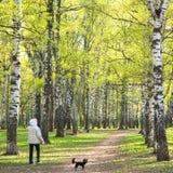 Igualando caminar en parque soleado del abedul de la primavera con primer se pone verde Imagen de archivo libre de regalías