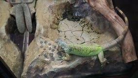 Iguan en el terrario vive en el parque zoológico metrajes