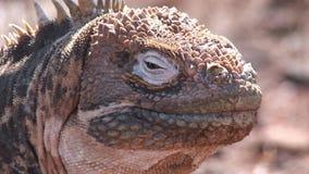 Iguan jaszczurek ogromny zbliżenie na skalistym wybrzeżu Galapagos wyspy zbiory wideo