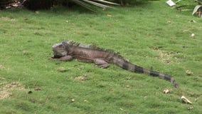 Iguan jaszczurki na skalistym wybrzeżu Galapagos wyspy zbiory wideo