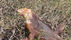Iguan ogromne jaszczurki zbiory