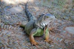 iguan zieleni potomstwa zdjęcie stock