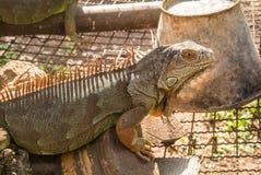 A iguana é um réptil que seja um gênero de lagartos herbívoros fotografia de stock