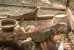A iguana é um réptil que seja um gênero de lagartos herbívoros fotografia de stock royalty free