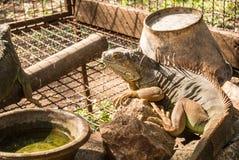 A iguana é um réptil que seja um gênero de lagartos herbívoros fotos de stock royalty free