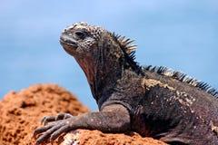 iguana żołnierz piechoty morskiej Zdjęcie Royalty Free