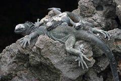 iguana żołnierz piechoty morskiej Obrazy Stock