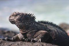 iguana żołnierz piechoty morskiej Fotografia Royalty Free