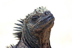 iguana żołnierz piechoty morskiej Zdjęcie Stock