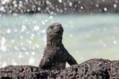 iguana żołnierz piechoty morskiej Fotografia Stock