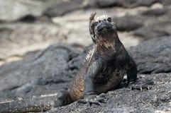 iguana żołnierz piechoty morskiej Zdjęcia Stock
