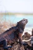 iguana żołnierz piechoty morskiej Obrazy Royalty Free
