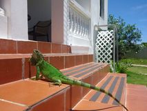Iguana έρπουσα Αγκουίλα στοκ φωτογραφία με δικαίωμα ελεύθερης χρήσης