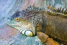 Iguana Δράκος ύπνου Πορτρέτο ενός μεγάλου έρποντος igua σαυρών Στοκ Εικόνα