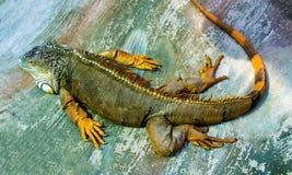 Iguana Δράκος ύπνου Πορτρέτο ενός μεγάλου έρποντος igua σαυρών Στοκ Εικόνες