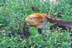 Iguana εδάφους Στοκ εικόνες με δικαίωμα ελεύθερης χρήσης