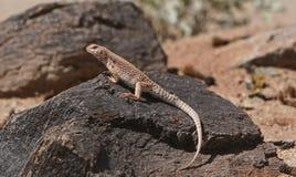 iguana ερήμων Στοκ Εικόνες