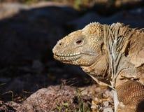 Iguana εδάφους Στοκ Εικόνες