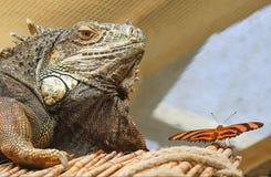Iguana και πεταλούδα Στοκ Φωτογραφίες