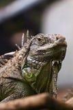 iguana κλάδων Στοκ φωτογραφία με δικαίωμα ελεύθερης χρήσης