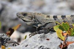 iguana μεξικανός Στοκ φωτογραφία με δικαίωμα ελεύθερης χρήσης