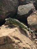 Iguana πέρα από το βράχο στοκ φωτογραφίες