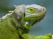 Iguana, πορτρέτο ενός της εισβολής είδους Στοκ φωτογραφία με δικαίωμα ελεύθερης χρήσης