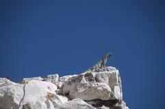 Iguana που αναζητά το τρέξιμο Στοκ Φωτογραφία