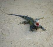 Iguana που ανοίγει το στόμα του στοκ φωτογραφία με δικαίωμα ελεύθερης χρήσης