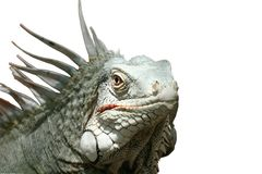 iguana που απομονώνεται Στοκ εικόνα με δικαίωμα ελεύθερης χρήσης