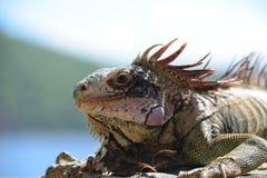 Iguana που λιάζει δίπλα στον ωκεανό Στοκ εικόνα με δικαίωμα ελεύθερης χρήσης